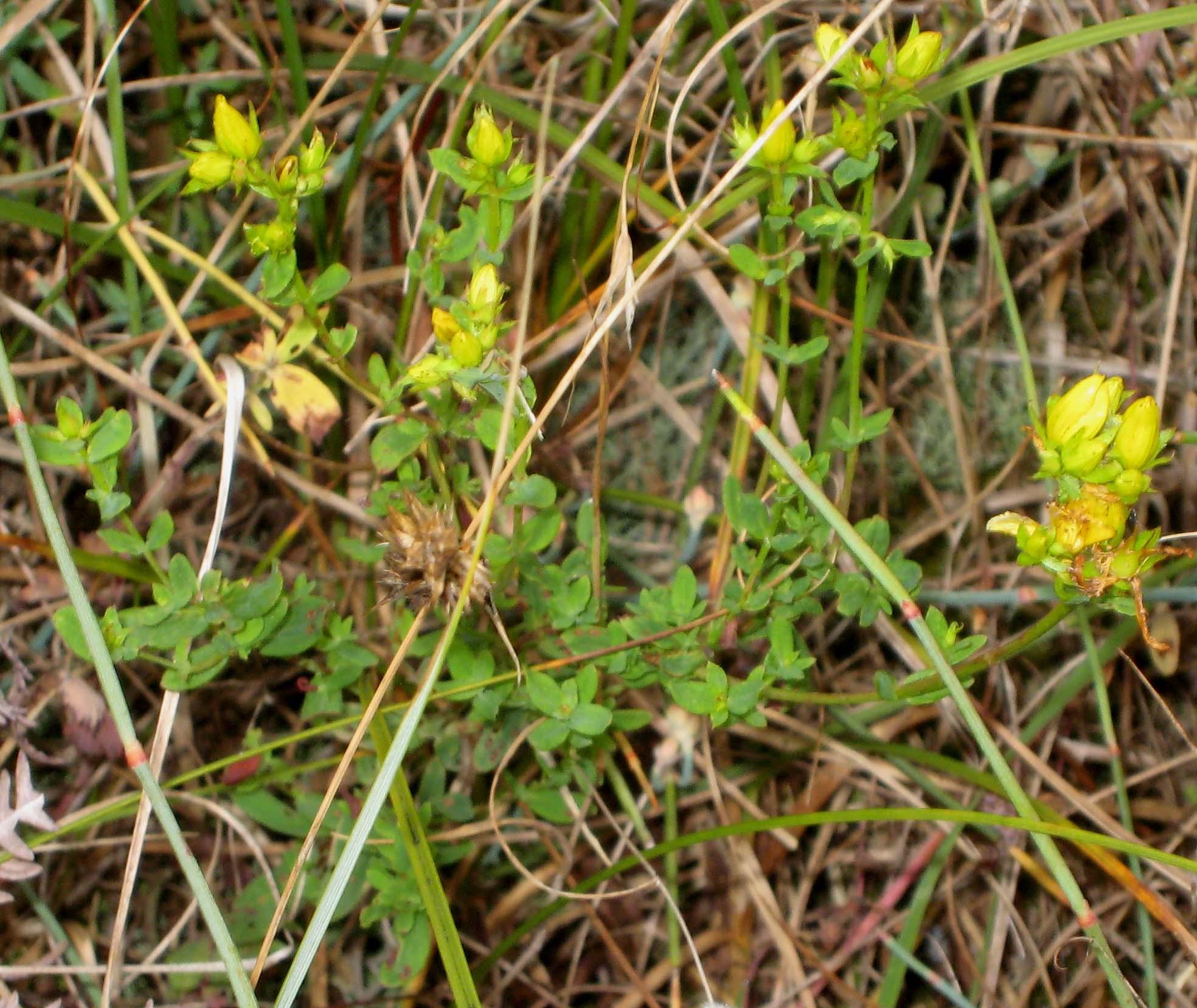 Petite plante fleurs jaunes sur la dune au jardin - Plante a fleur jaune 6 lettres ...